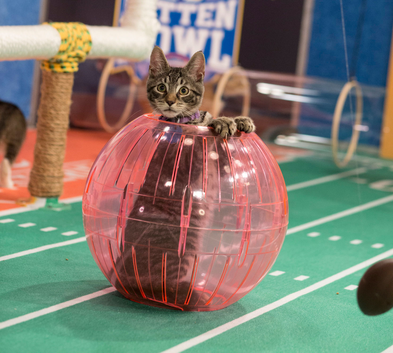 'Stormin Norman' Tumbles into the End Zone - Kitten Bowl V. '